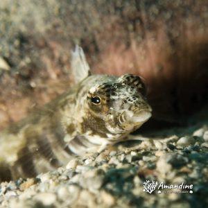 Poissons osseux » Parapercis » Parapercis australis