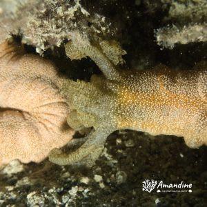 Échinodermes » Holothurie » Synapta maculata