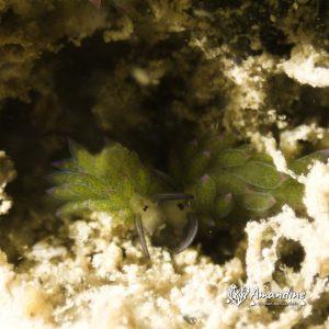 Mollusques » Gastéropode » Limaces de mer (opisthobranche) » Sacoglosse » Costasiella sp1