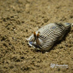 Mollusques » Gastéropode » Limaces de mer (opisthobranche) » Nudibranche » Arminidae » Armina sp.