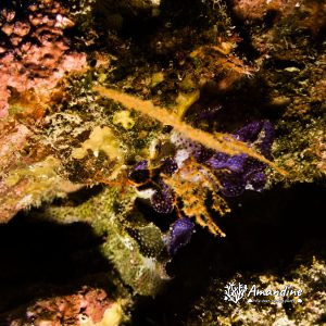 Ectoprocte (bryozoaire) » Iodictyum buchneri