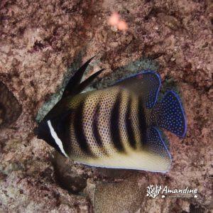 Poissons osseux » Poisson-ange » Pomacanthus sexstriatus