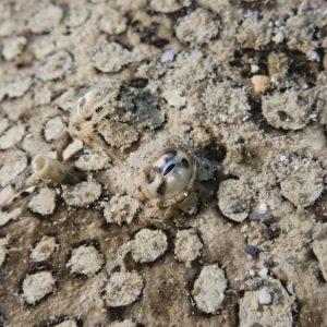 Poissons osseux » Poisson plat » Bothus mancus