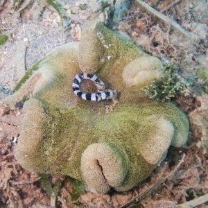 Cnidaires » Anémone de mer (actiniaire)