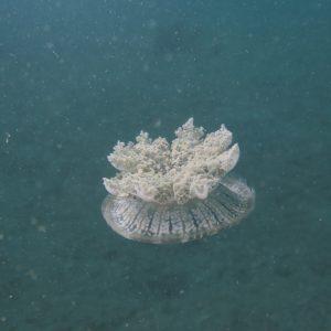 Cnidaires » Méduse