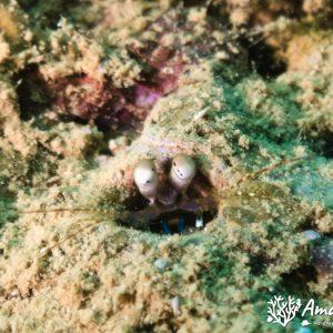 Crustacés » Squille