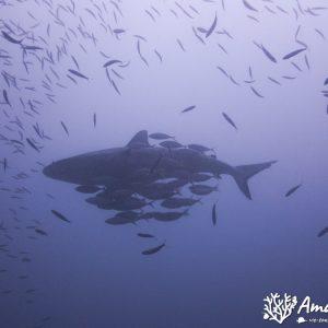 Poissons cartilagineux » Requin » Carcharhinus amblyrhynchos