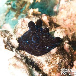 Mollusques » Gastéropode » Escargot marin (prosobranche) » Coriocella nigra