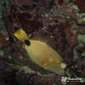 Poissons osseux » Baliste » Balistapus undulatus