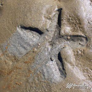 Échinodermes » Étoile de mer » Archaster typicus