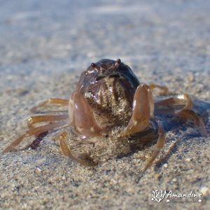 Crustacés » Crabe