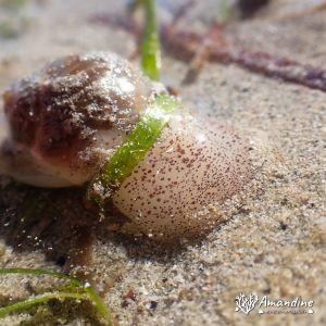 Mollusques » Gastéropode » Escargot marin (prosobranche)