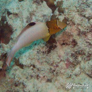Poissons osseux » Poisson-perroquet