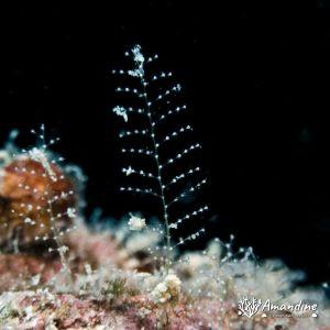 Cnidaires - Nouvelle-Calédonie, Passe de Boulari, Récif Tabou et Toho 5