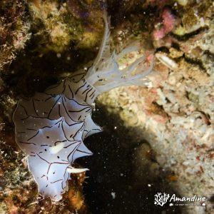 Mollusques » Gastéropode » Limaces de mer (opisthobranche) » Nudibranche » Doridien » Halgerda sp1.