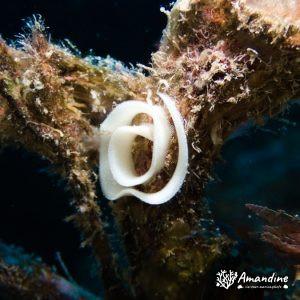 Mollusques » Gastéropode » Limaces de mer (opisthobranche) » Nudibranche » Doridien » Pontes indéterminées