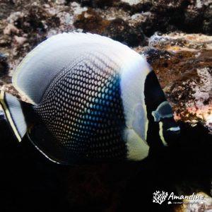 Poissons osseux » Poisson-papillon » Chaetodon reticulatus