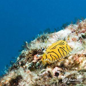 Mollusques » Gastéropode » Limaces de mer (opisthobranche) » Nudibranche » Doridien » Halgerda johnsonorum