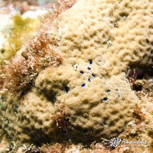 Crustacés » Cirripède » Pyrgomatidae sp.