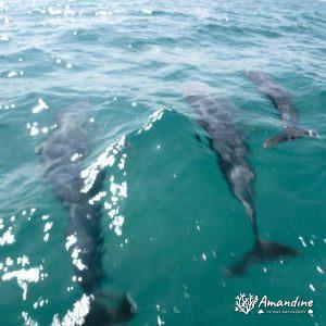 Mammifères marins » Dauphin