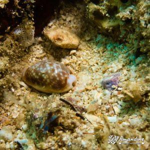 Mollusques » Gastéropode » Escargot marin (prosobranche) » Porcelaine