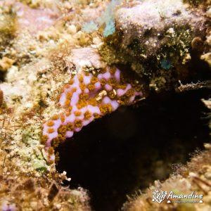 Cnidaires - Nouvelle-Calédonie, Touho