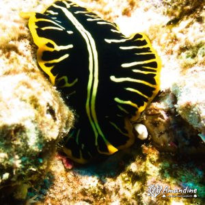 Organismes vermiformes » Ver plat (plathelminthe) » Pseudoceros cf. dimidiatus