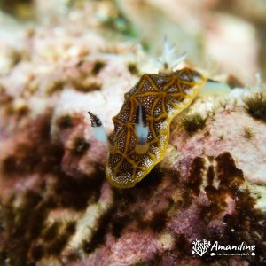 Mollusques » Gastéropode » Limaces de mer (opisthobranche) » Nudibranche » Doridien » Halgerda tessellata