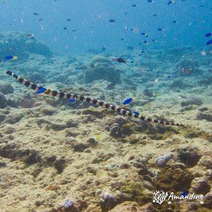 Serpent marin » Tricot rayé