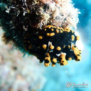 Mollusques » Gastéropode » Limaces de mer (opisthobranche)