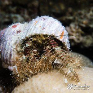 Crustacés » Bernard-l'ermite