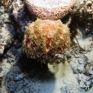 Échinodermes » Oursin