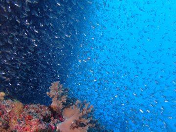 Plongée le 12 décembre 2019 sur le pic Matama dans l'atoll Huon aux Récifs d'Entrecasteaux